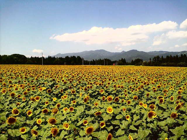 日記とヒマワリ畑
