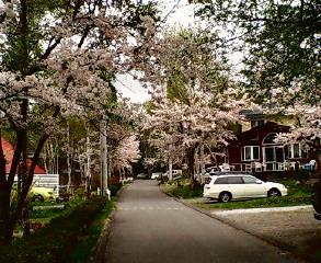 また桜満開!