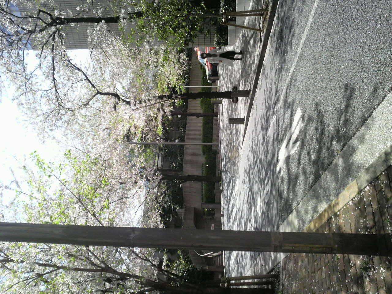 赤坂アークヒルズ勝手に桜情報2<br />  017年4月14<br />  日